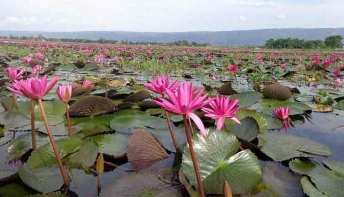 সুনামগঞ্জের লাল শাপলার বিল এখন পর্যটন এলাকা